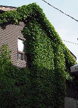 Vines On Siding And Stucco Vine Removal